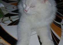 قطه شيرازيه تخبل عمرها 6 اشهر