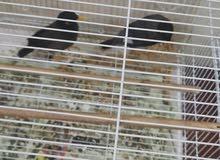 Myna Birds For Sale