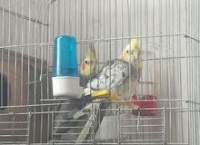 عصافير للبيع كوكتيل