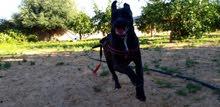 كلب بيتبل الماني ،انتى,