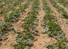 ارض على الرئيسي 45 ك من الرمايه مسجله بها كل المستلزمات الزراعه علينا