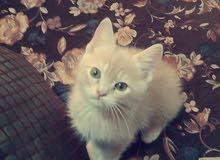قطط للبيع عمر شهرين ب150 وبي مجال للواحد .مكاني بغداد
