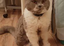 للتزاوج قطط سكوتش و شيرازي للتواصل على 55170670