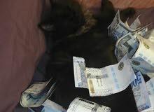 قطه شيرازي للبيع سوده