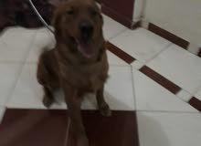 كلب جولدن العمر سنتين