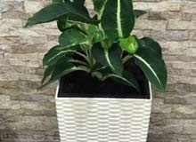 For sale indoor plant with pot