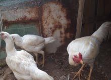 بيض دجاج هندي ابيض الام والاب وحسب ماموجود في الصور  مع بيض دجاج هندي الوان اخرى