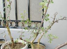 شجرة البيشم والبشام الجبليه(البيلسان)