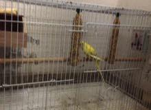البيع اصغر نوع ببغإ في العالم النوع طيور حب  اسم النوعيه البادجي اليف ويركب على اليد