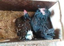 دجاجتين كافات سعر الوحده 25