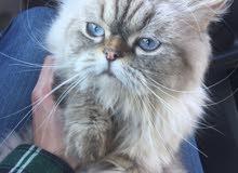 Urgent مجموعه قطط للبيع (الاسعار داخل الاعلان) 58465acd3