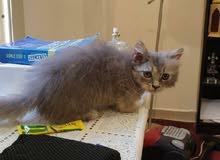 قطه شرازي للبيع اكلها دراي فود