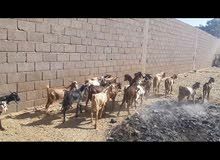 جديان جبلية سودانية اعمارهن من سنة إلى سنتين بالجملة