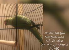 للبيع متو اليف جدا Tamed green ring parrot