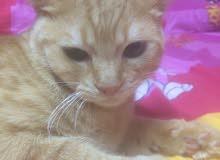 قط شيراز صفرء جبلي