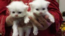 قطط شيرازي عمرشهر متعودين على الاكل والرمله ثهن القطه ال احده1200