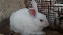 أرانب بيض نيوزلندي و ملون ابيض واسود