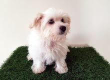 Maltese female pure breed