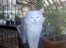 قطه شيرازي تركي ابيض للتبني لدواعي السفر