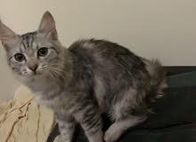 للبيع اليوم قطة شيرازي انثى 4 اشهر