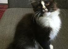 Maine coon 4 months old kitten pure-breed