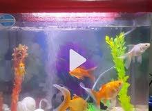 حوض سمك  قياس 50 سم