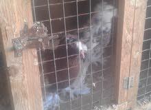 حمام للبيع المكان طرابلس منطقة ابوسليم رقم الهاتف 092/1137276