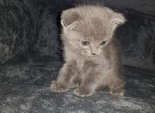 scotch fold and british kitten