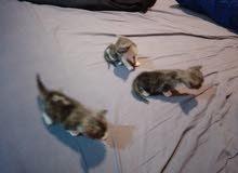 قطط همالايا للبيع عدد 3