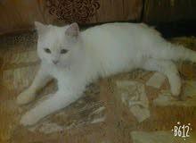 قطه شيرازي. للبيع او مراوس