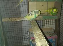 طيور حب للبيع او امراوس