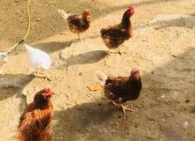 دجاج احمر حجم كبير منتج.