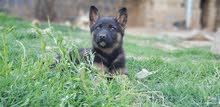 كلبه جرمن شيبرد اصل 100% للبيع