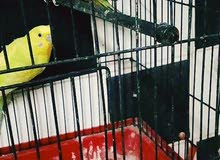 طيور حب للبيع جواز بتجنن ركز بلديات