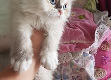 .قطط اناث اعمار شهرين