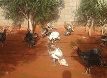 دجاج رومي للبيع