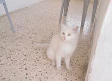 قطه شرازي أنثى للبيع