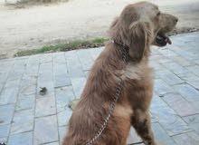 كلب جولدن للبيع