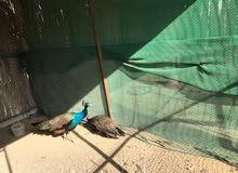 زوج طاووس للبيع