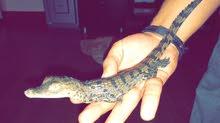 تمساح امريكي