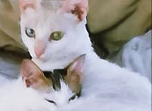 قطه الفان