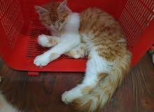 Long hair White and Ginger Kitten