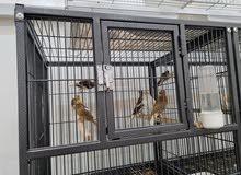 طيور كناري انتاج السنة