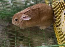 متوفر ارانب بدايه انتاج وارانب عشار
