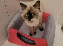 قطه سيامي بيور العمر عشر شهور اليفه و تحب العب