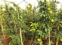 بيع جميع انواع الاشجار المثمرة والزينة واصل للبيت 0779674272
