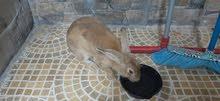 للبيع ارنب هولندي