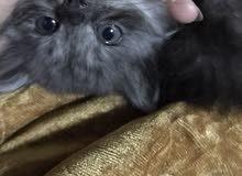 قط صغيره للبيع
