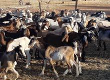 جديان جبلية سودانية اعمارهن من ستة شهور الى سنة