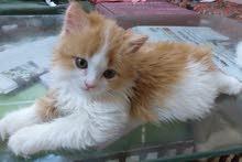قطتين للبيع شيرازي عمر شهرين